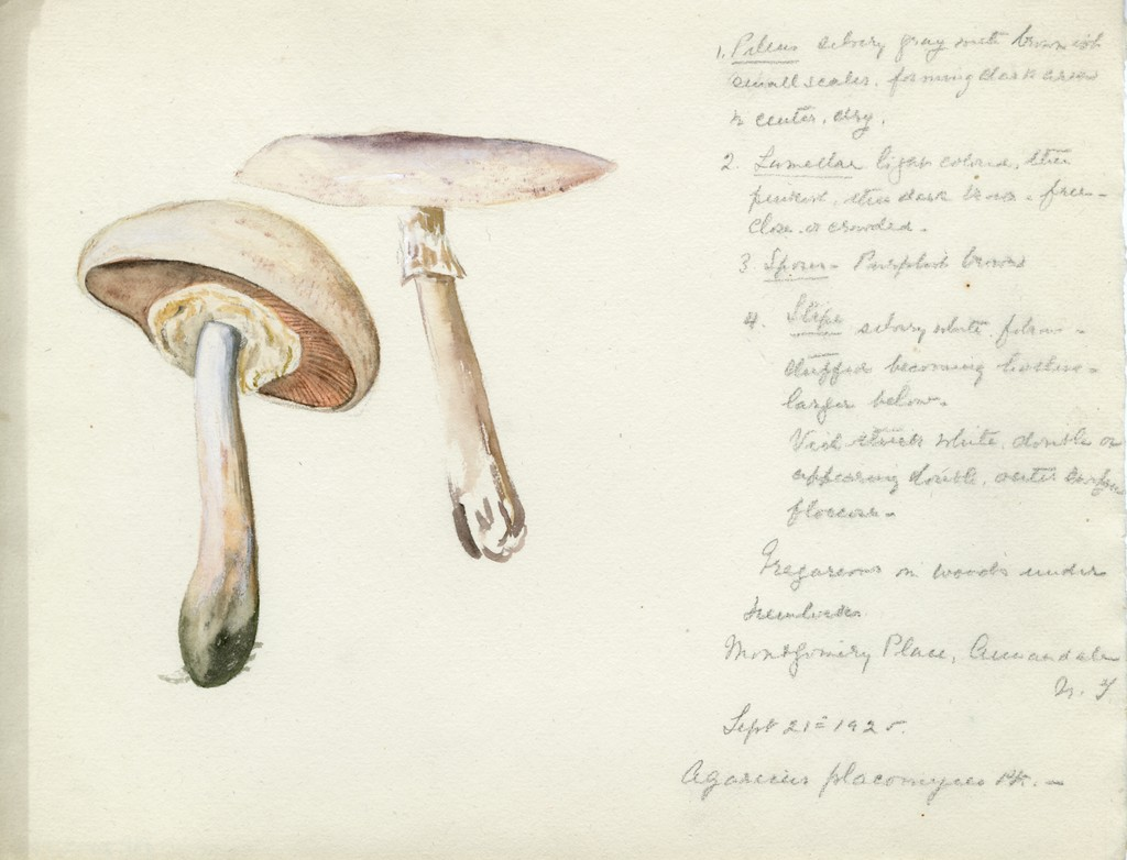 Agaricus placomyces by Violetta White Delafied, 1925