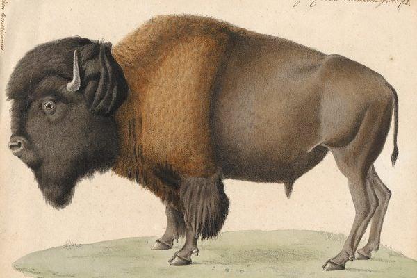Bison americanus