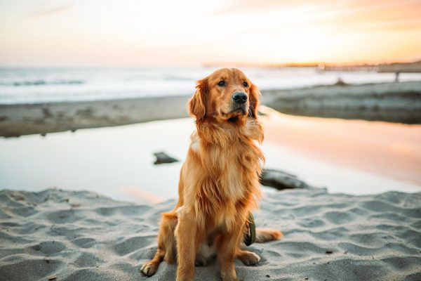 A golden retriever on the beach