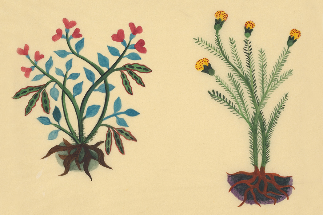 Ayecohtli (pictured left) as the scarlet Runner Bean (Phaseolus coccineus): 1931-33 reproduction of The Badianus Manuscript, 1552; Rare Book Collection, Dumbarton Oaks, Trustees for Harvard University, Washington, DC