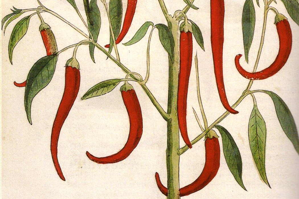 Capsicum annum peppers