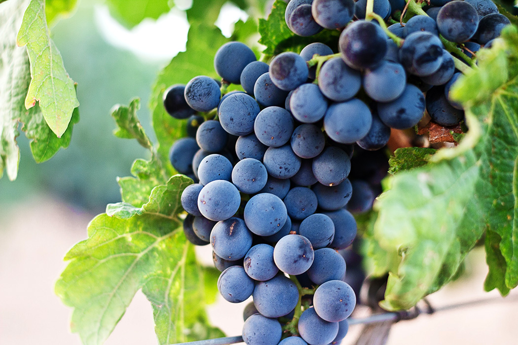 The Great Grape Graft That Saved the Wine Industry | JSTOR Daily