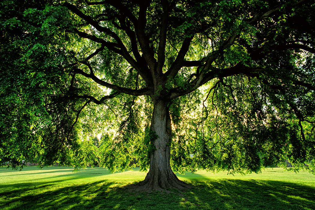 A massive American Elm tree sits backlit by the rising sun in Overlook Park in northern Portland, Oregon.