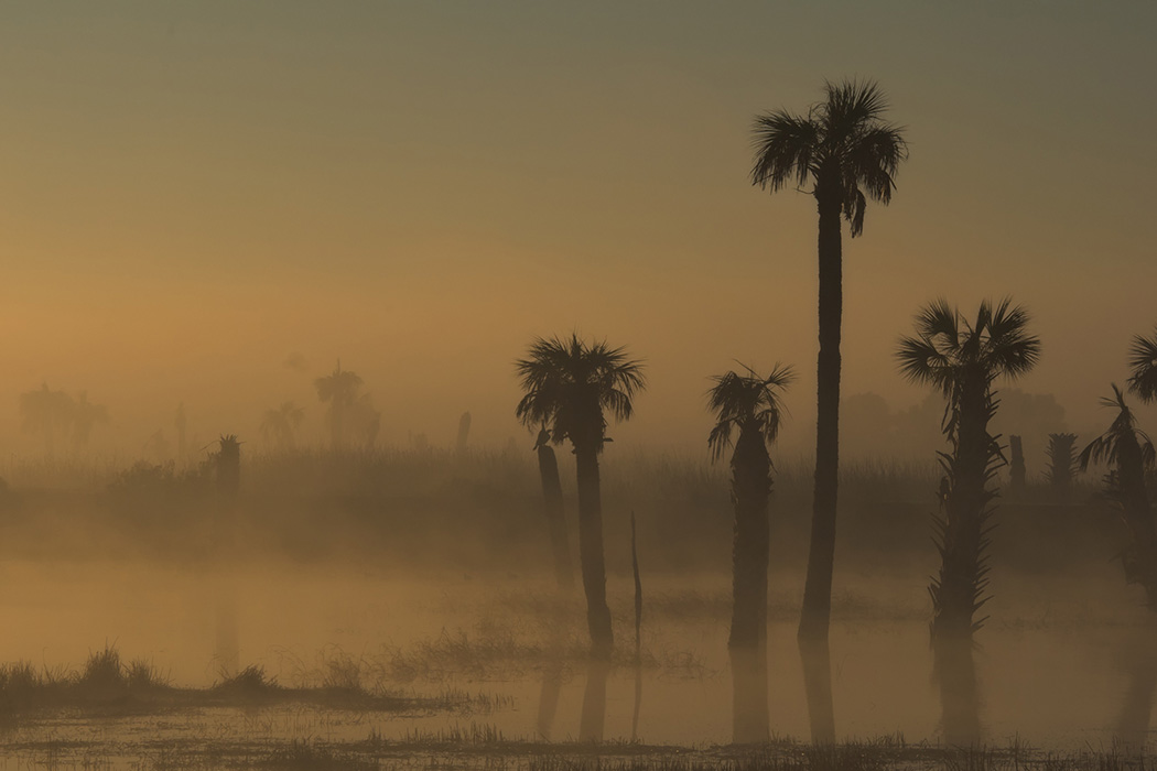Palm trees in fog, Florida
