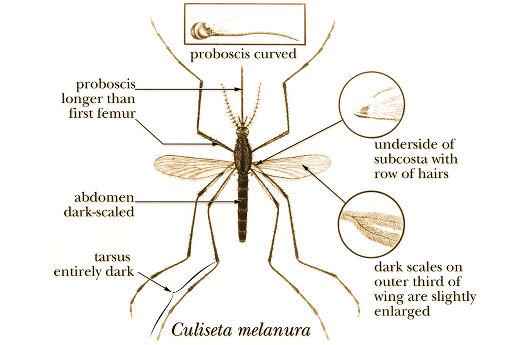 An illustration of a Culiseta melanura mosquito.
