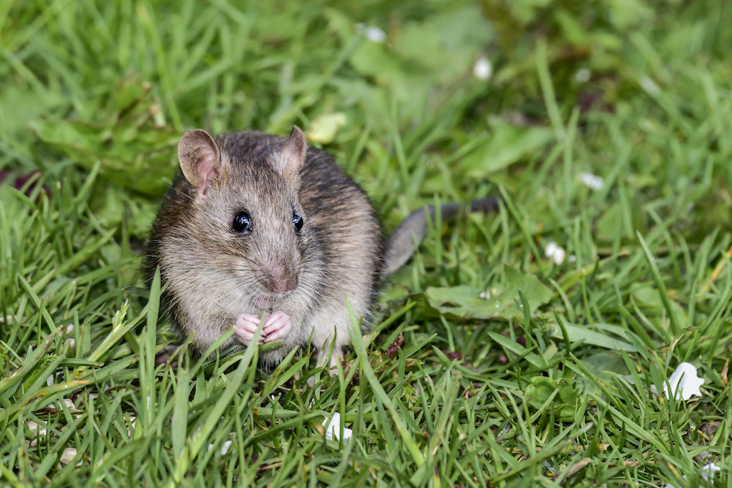 cute brown rat in the grass