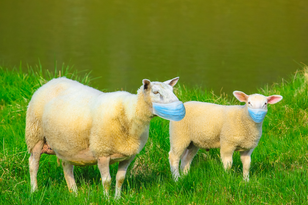 Two sheeps with face mask