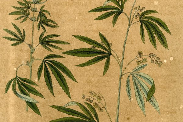Cannabis sativa, 1828