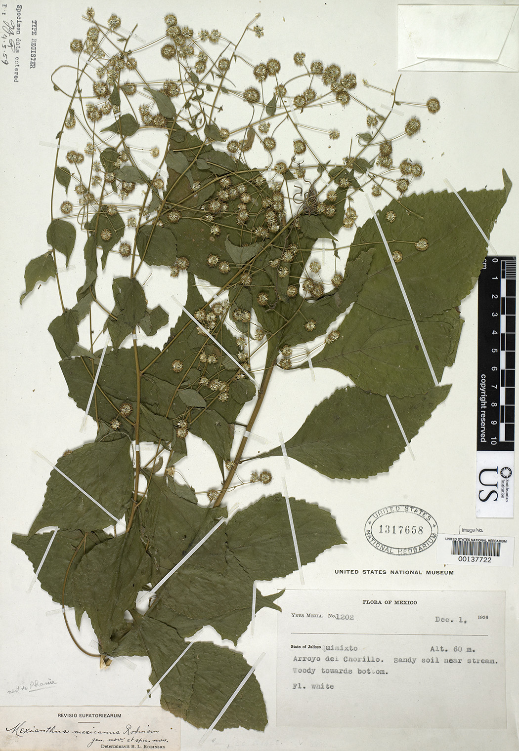 A specimen of Mexianthus mexicanus Robinson collected by Ynes Mexia
