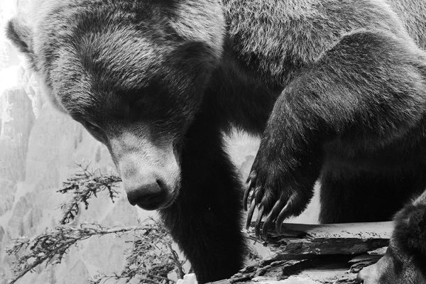 A grizzly bear c. 1955