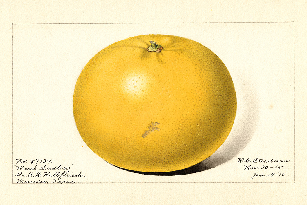 The Marsh Seedless variety of grapefruits (scientific name: Citrus paradisi) from Mercedes, Hidalgo County, Texas, 1916
