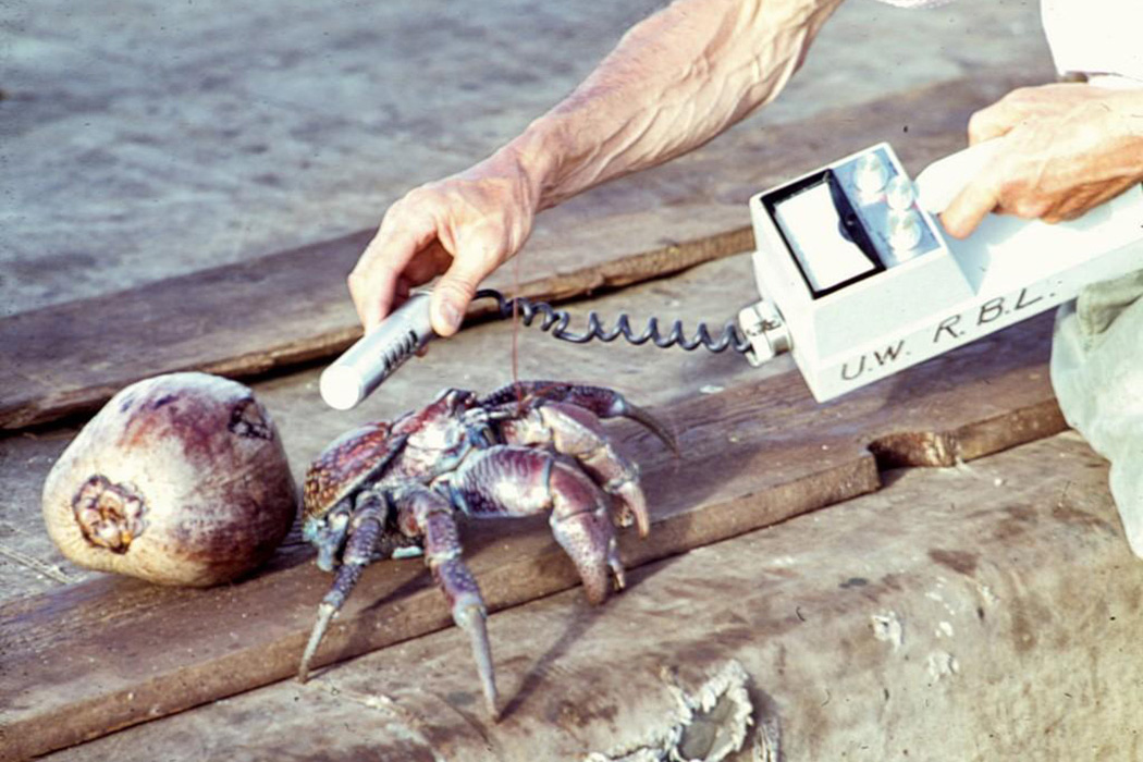 Coconut crab being monitored by geiger counter