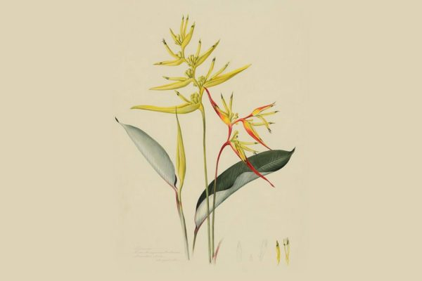 On the left, Heliconia tarumaensis Barreiros (with yellow bracts); on the right, Heliconia acuminata L.C. Richard (with yellow and red bracts). Dumbarton Oaks Rare Book Collection.