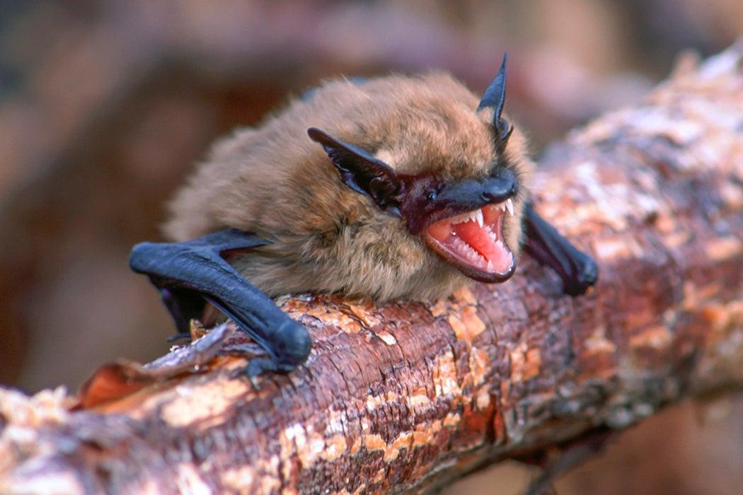 What Bats Can Teach Humans About Coronavirus Immunity | JSTOR Daily