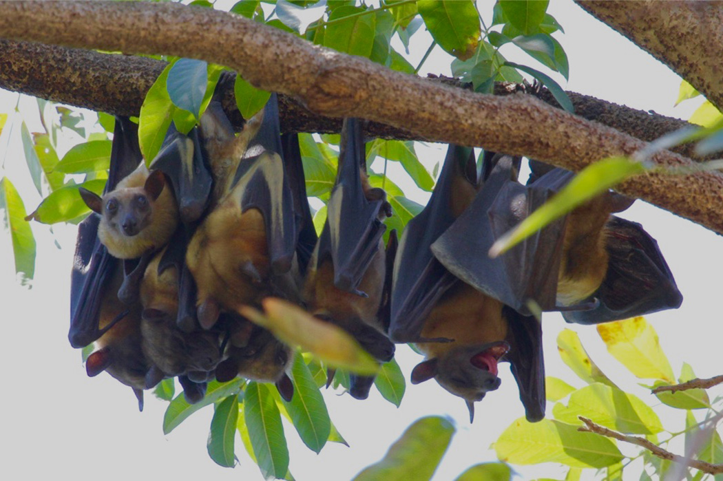 straw colored fruit bats hang upside down from a tree in Tanzania