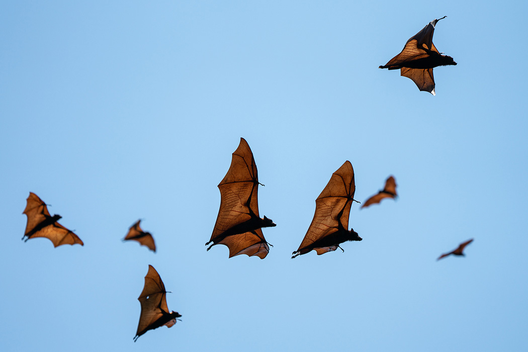 Flying foxes flying in the sky in Indonesia