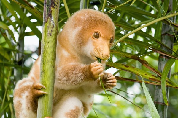 Photograph: Spotted cuscus (Phalangista maculata)  Source: Getty