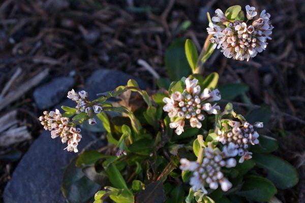 Alpine Pennycress - Noccaea caerulescens