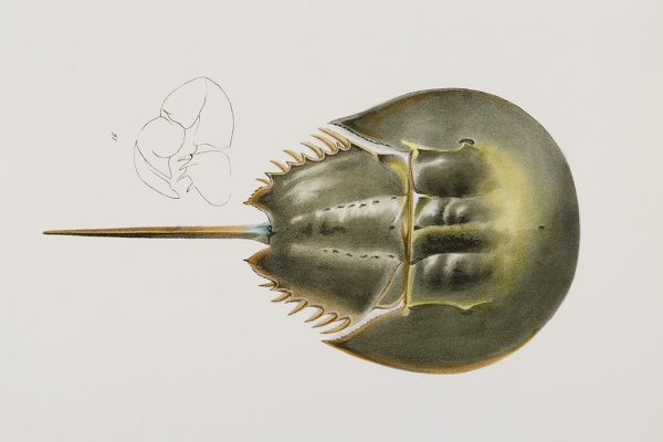Atlantic horseshoe crab (Polyphemus occidentalis) illustration from Zoology of New york (1842 - 1844) by James Ellsworth De Kay (1792-1851).