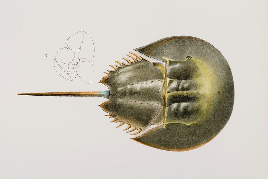 Atlantic horseshoe crab (Polyphemus occidentalis) illustration from Zoology of New york (1842 - 1844) by James Ellsworth De Kay (1792-1851).