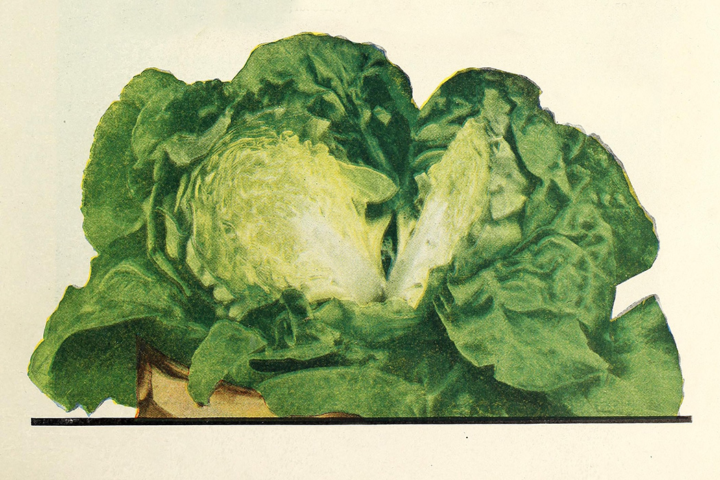 An image of lettuce from 1926