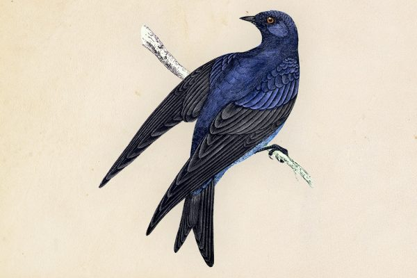 A hand-colored engraving of a Purple Martin