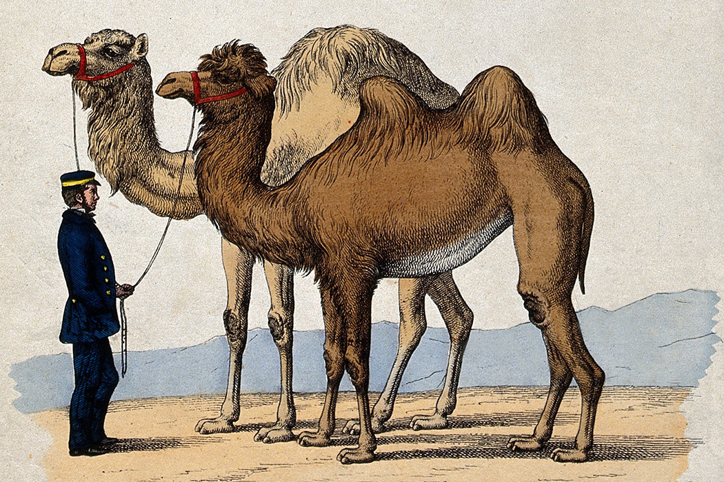 A man in a uniform holding a camel