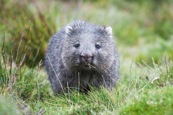 A wombat in Cradle Mountain, Tasmania