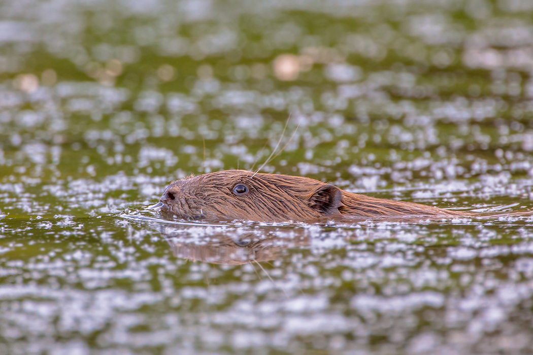 Swimming beaver (Castor fiber)