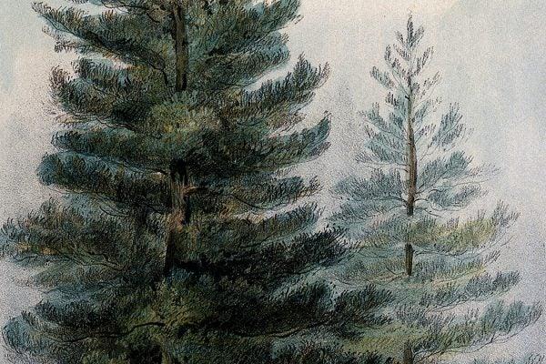 Lodge-pole pines c. 1857