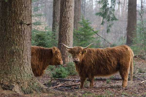 Cattle in a forest