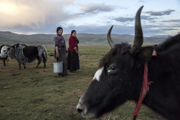 Nomadic ethnic Tibetan women stand amongst their Yak herd at a camp on July 27, 2015 on the Tibetan Plateau in Yushu County, Qinghai, China.