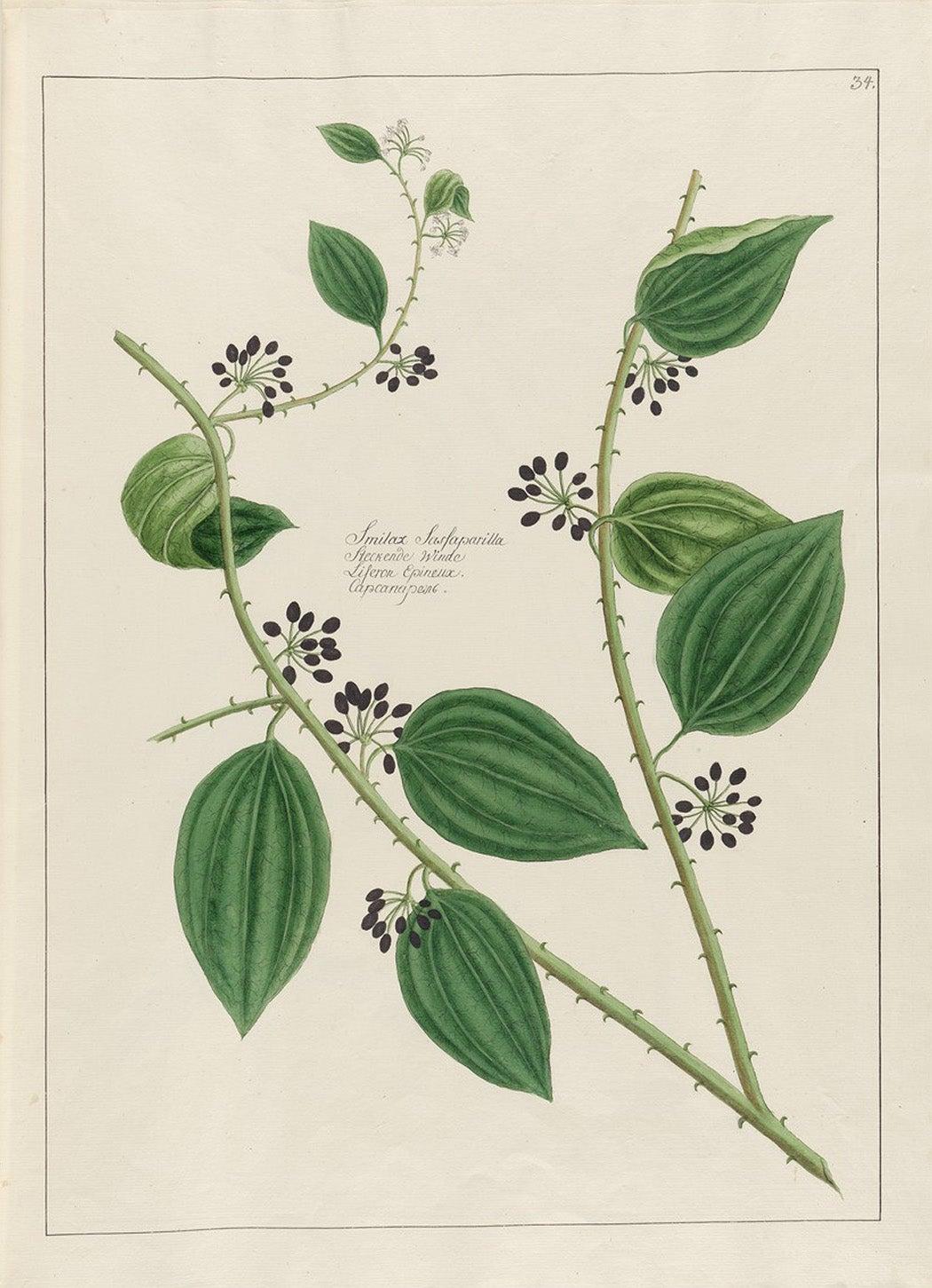 Image of sarsaparilla