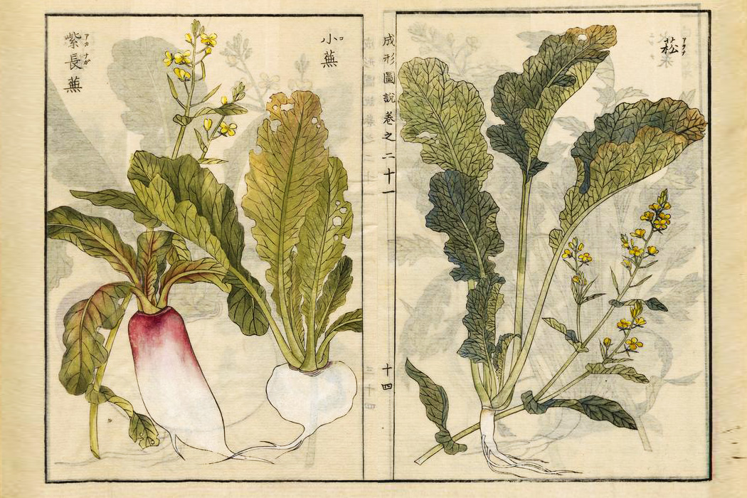 Two illustrations of Brassica rapa, turnips and mustard greens, 1804