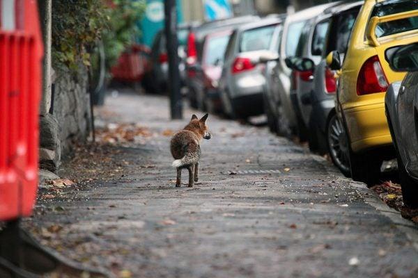 A fox on a city street
