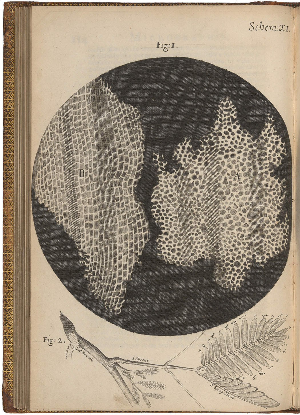Engraving, magnified view of two different sections of the pores of cork, and a branch; Schem. 11. From 'Micrographia: or some physiological descriptions of minute bodies made by magnifying glasses with observations and Inquiries thereupon' by Robert Hooke, Fellow of the Royal Society, 1665.
