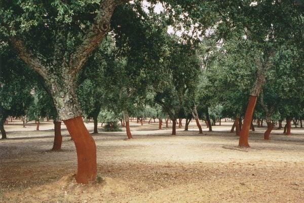 Cork oak (Quercus suber) pasture near Arcos de la Frontera, Cádiz, Spain.