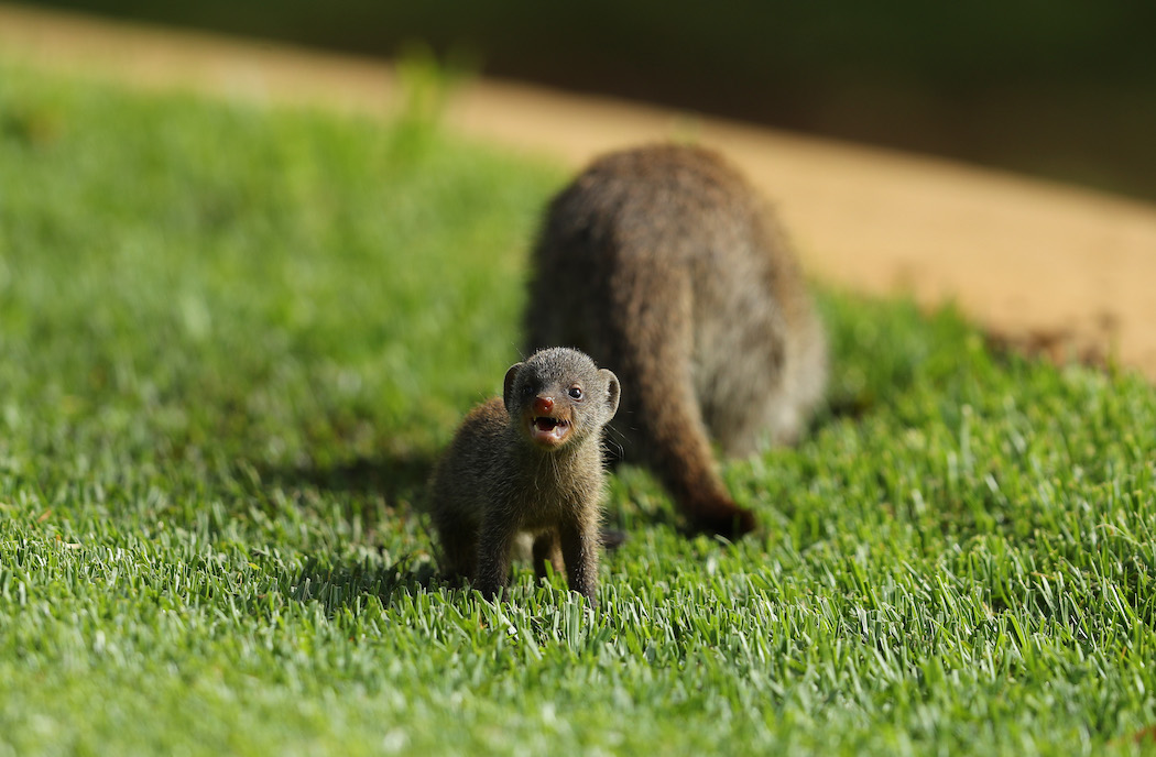 Mongoose baby