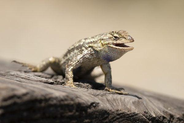 The Western Fence Lizard