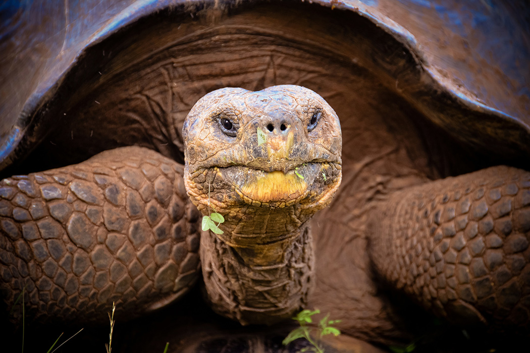 Close up of Galapagos giant tortoise