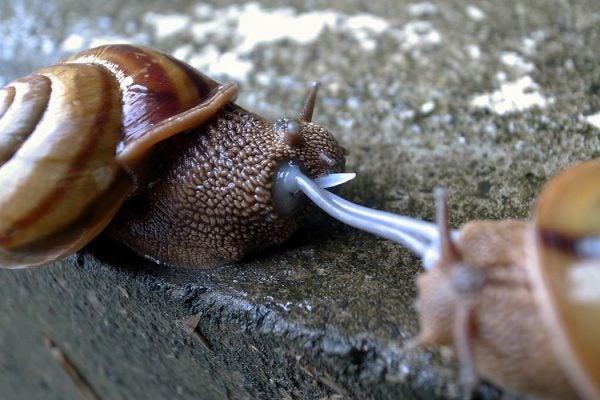Euhadra snails mating
