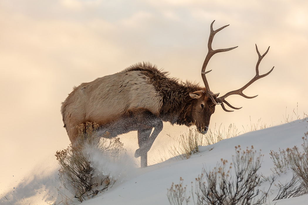 A bull elk searches for food beneath the snow in Yellowstone National Park
