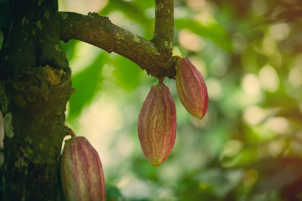 tree with a growing cacao beans on the branches