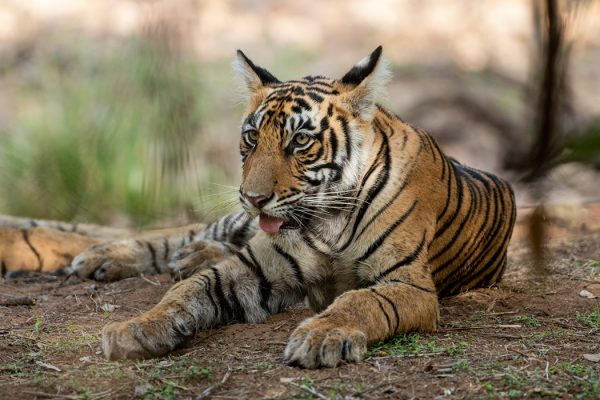 A wild tiger cub resting under the shade of tree in the National Park of Central India forest