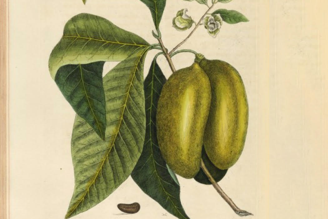 Plant of the Month: The Pawpaw - JSTOR Daily